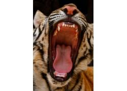 张开嘴巴的老虎