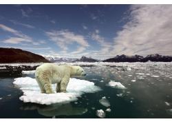 冰面上的北极熊摄影