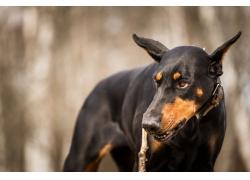杜宾犬摄影