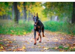 奔跑的杜宾犬