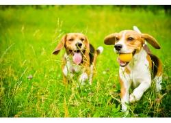 草丛玩耍的柯基犬