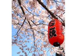 日本樱花树上的灯笼