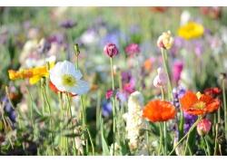 彩色罂粟花摄影