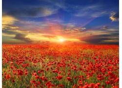 美丽罂粟花黄昏美景