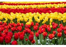郁金香鲜花背景