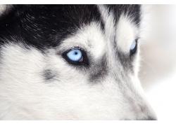蓝眼睛哈士奇