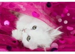 萌萌的白猫