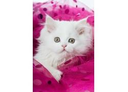 可爱小白猫