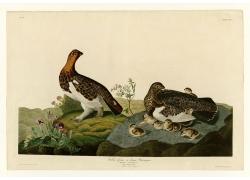 奥杜邦鸟类插画图片