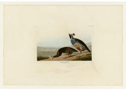 奥杜邦鸟类动物插画图片