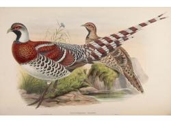 野鸡动物插画图片
