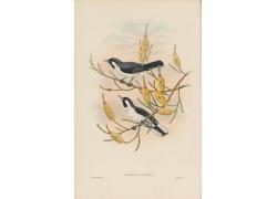 喜鹊鸟类插画图片