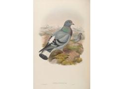 鸽子鸟类插画图片