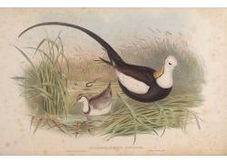 芦苇里的鸟类插画图片