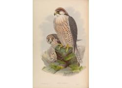 隼类鸟类插画图片