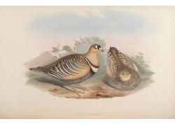 鹌鹑鸟类插画图片