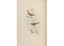亚洲麻雀鸟类插画图片