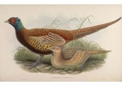 亚洲野鸡鸟类插画图片