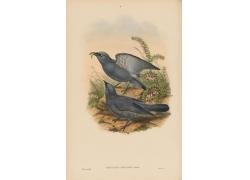 吃虫子的灰色鸟类插画图片