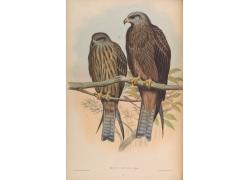 亚洲鹰类动物插画图片