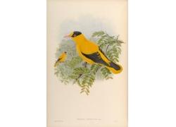 树枝上的黄色鸟类插画图片