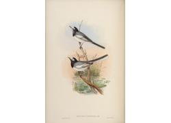 亚洲喜鹊鸟类插画图片