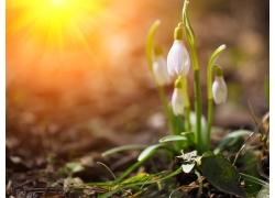 光线水仙花