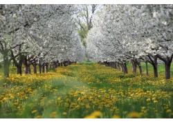 美丽白色樱花风景