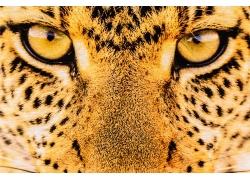 豹子眼睛摄影
