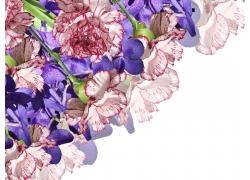 康乃馨鲜花摄影