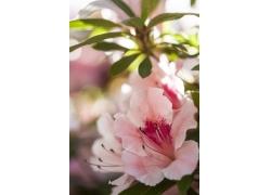 粉色杜鹃花