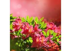三月杜鹃花盛开