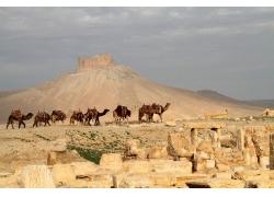 沙丘骆驼队