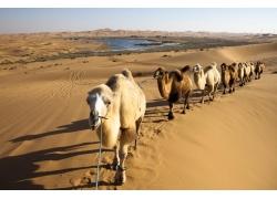 沙漠的骆驼群