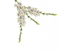 树枝上的白色梅花