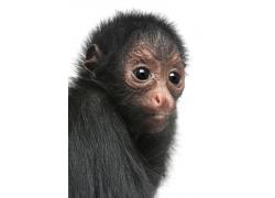 黑色的猴子头部特写