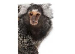 呆萌的猕猴