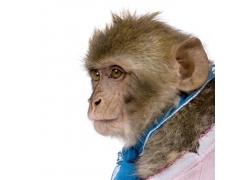 穿着衣服的猴子