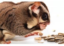 吃着瓜子的松鼠