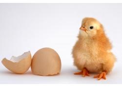 破碎的鸡蛋和小鸡
