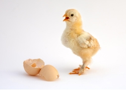 尖叫的小鸡和蛋壳