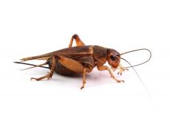 长长触角的蟋蟀