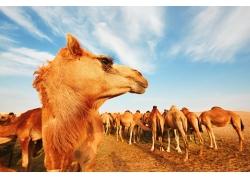 沙漠中的骆驼