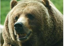 可爱的棕熊