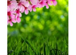 模糊背景和草地桃花