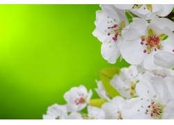 白色的桃花和绿叶
