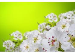 白色桃花和黄绿背景
