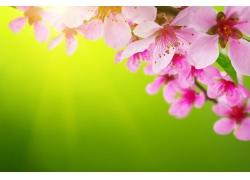 黄绿背景和桃花