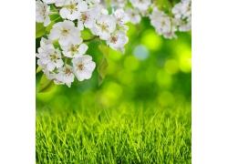 桃花绿叶和草地
