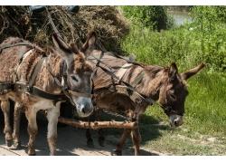 道路上的驴车